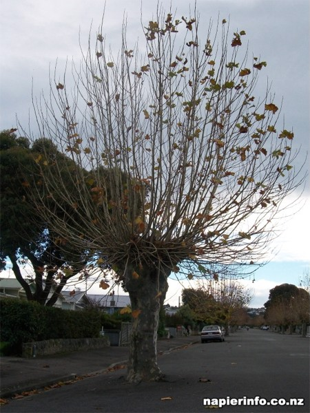 Interesting Sight: Tree paved into the road in Napier